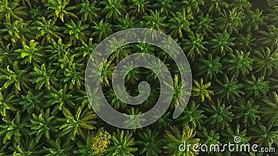 Εναέρια άποψη: Ανατολή στη φυτεία δέντρων φοινικέλαιου άνωθεν HD άποψη ματιών πουλιών krabi Ταϊλάνδη απόθεμα βίντεο