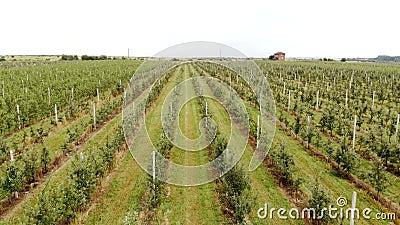 Εναέρια άποψη της φυτείας της Apple Η καλλιέργεια των μήλων Πυροβολισμός οπωρώνων της Apple πανοράματος με έναν κηφήνα Κάμερα απόθεμα βίντεο