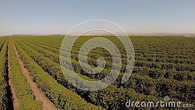 Εναέριο μήκος σε πόδηα από τη φυτεία καφέ στη Βραζιλία φιλμ μικρού μήκους