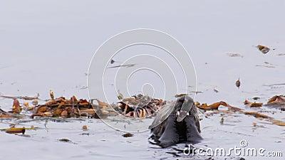 Ενυδρίδες θάλασσας απόθεμα βίντεο
