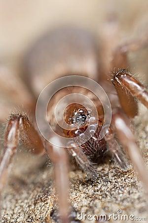 επίγεια αράχνη gnaphosidae φευγαλ