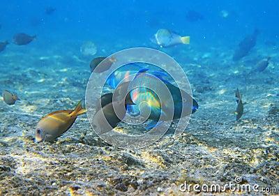 Ερυθρά Θάλασσα ψαριών