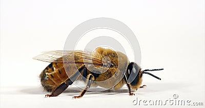 Ευρωπαϊκή Μέλισσα, Apis mellifera, αρσενικό έναντι Λευκού Φόντου, Νορμανδία, Πραγματικός Χρόνος 4K φιλμ μικρού μήκους