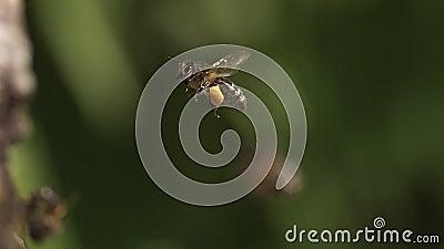 Ευρωπαϊκή μέλισσα μελιού, mellifera apis, ενήλικο πέταγμα με τα πλήρη καλάθια γύρης σημειώσεων, φιλμ μικρού μήκους