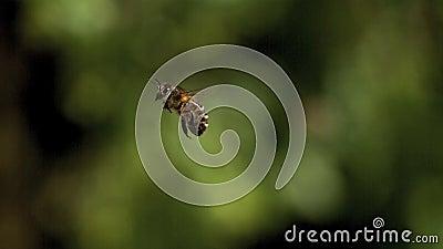Ευρωπαϊκή μέλισσα μελιού, mellifera apis, ενήλικο πέταγμα στο πράσινο κλίμα, φιλμ μικρού μήκους