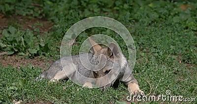 Ευρωπαϊκός λύκος, Λύκος canis, κουτάβι που βάζει, Γαλλία, πραγματική - χρόνος απόθεμα βίντεο