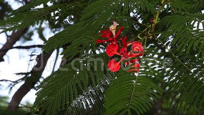 Εύφλεκτο δέντρο σε λουλούδια, νησί γάτας, Μπαχάμες, πραγματικός χρόνος απόθεμα βίντεο