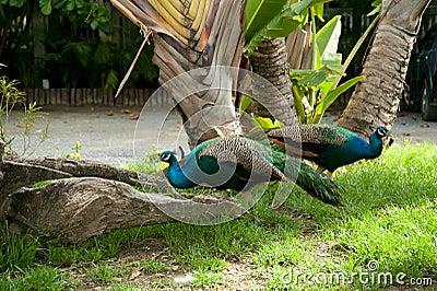 Ζευγάρι Peacock