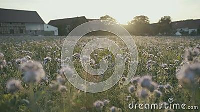 Ζωηρόχρωμος ανθίζοντας τομέας στο ηλιοβασίλεμα απόθεμα βίντεο