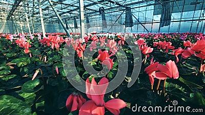 Ζωηρόχρωμος τα λουλούδια στα δοχεία που τοποθετούνται στις σειρές μέσα σε ένα θερμοκήπιο απόθεμα βίντεο