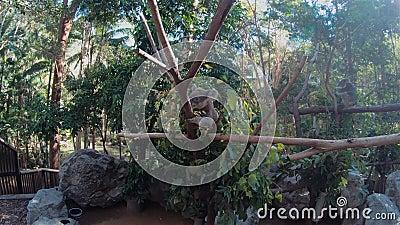 Η αρκούδα της Κοάλα σκαρφαλώνει το Δέντρο του Ευκάλυπτου Χαριτωμένο θηλαστικό Αυστραλιανό ζώο Άγρια Δάση απόθεμα βίντεο