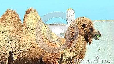 Η βακτριανή καμήλα κινηματογραφήσεων σε πρώτο πλάνο συγκεντρώνει μέσα την κατανάλωση από τους τροφοδότες πουλιών απόθεμα βίντεο