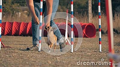 Η ιδιοκτήτρια διδάσκει τους μικρούς της Σκύλους γρήγορους πόλους σε διαγωνισμούς έννοια: υπακοή και εκπαίδευση των κατοικίδιων ζώ απόθεμα βίντεο
