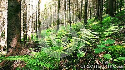 Ηλιόλουστο πρωί στο βαθύ mossy δάσος ορεινών περιοχών με την άγρια ανάπτυξη εγκαταστάσεων φτερών στα Καρπάθια βουνά φιλμ μικρού μήκους