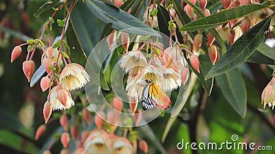 Η κίτρινη πεταλούδα πίνει το νέκταρ από το άσπρο λουλούδι ανθών κατά τη διάρκεια της εποχής άνοιξης που βοηθούν τη διαδικασία γον φιλμ μικρού μήκους