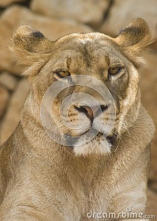 η λιονταρίνα κοιτάζει