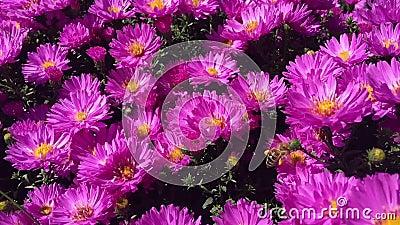 Η μέλισσα επικονιάζει μια ομάδα λουλουδιών βιολετί φιλμ μικρού μήκους