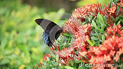 Η μεγάλη τροπική πεταλούδα ελπίζει γύρω από τον κόκκινο θάμνο να πιεί νέκταρ στον κήπο απόθεμα βίντεο