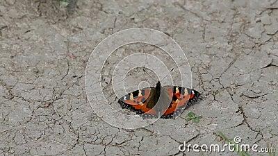 Η μικρή ταρταρούγα πεταλούδων (urticae Aglais, urticae Nymphalis) κάθεται στη στεριά απόθεμα βίντεο