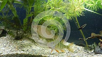 Η νεανική πέρκα και ενήλικα ευρωπαϊκά, του γλυκού νερού ψάρια κολυμπούν στη φυτευμένη δεξαμενή και προσέχουν έναν βάτραχο tadp απόθεμα βίντεο