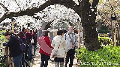 Η οικογένεια βλέπει όμορφα άνθη κερασιάς στο πάρκο Chidorigafuchi του Τόκιο απόθεμα βίντεο