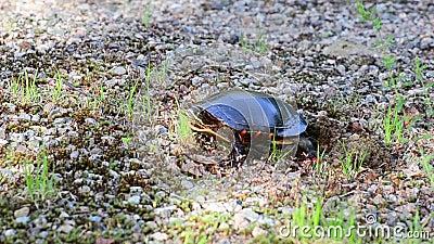 Η χελώνα ισιώνει το χώμα με τα πόδια φιλμ μικρού μήκους