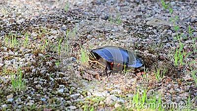 Η χρωματισμένη χελώνα καλύπτει επάνω τη φωλιά της απόθεμα βίντεο