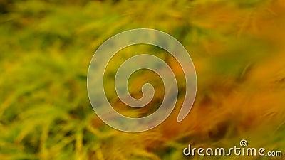 Ιαπωνικός σφένδαμνος Shaina (palmatum Acer) φιλμ μικρού μήκους