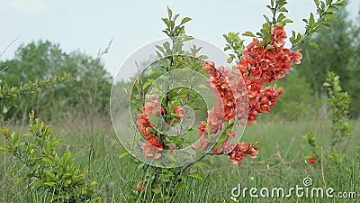 Ιαπωνικό κυδώνι Μπους με τα λουλούδια που στέκονται στον τομέα και που ταλαντεύονται στον αέρα απόθεμα βίντεο