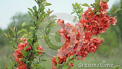 Ιαπωνικό κυδώνι Μπους με τα λουλούδια που στέκονται στον τομέα και που ταλαντεύονται στον αέρα φιλμ μικρού μήκους