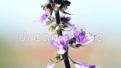 Ιερός βασιλικός, κινηματογράφηση σε πρώτο πλάνο του λουλουδιού φιλμ μικρού μήκους