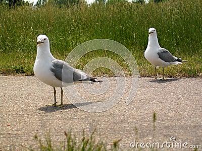 ΙΙ seagull