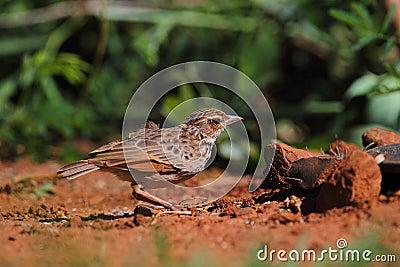 Ινδοκινέζικο Bushlark