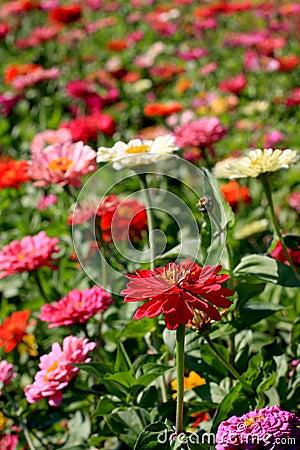 κήπος Zinnia