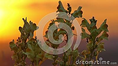 Κίτρινα λουλούδια και μυρμήγκι στην ανατολή απόθεμα βίντεο