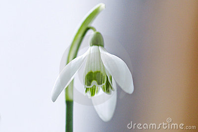 καθαρό λευκό λουλουδιών