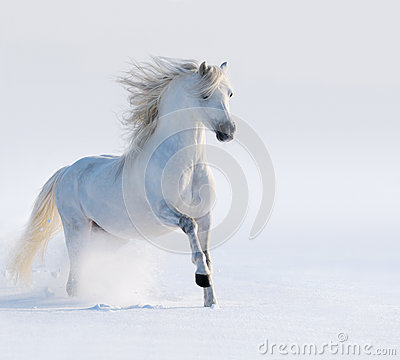 Καλπάζοντας άσπρο άλογο