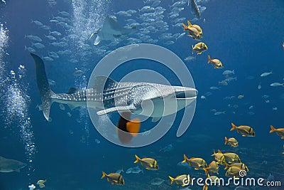 Καρχαρίας φαλαινών