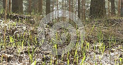 Κατά το ήμισυ μμένα απανθρακωμένα δάσος δέντρα πεύκων στο δάσος απόθεμα βίντεο