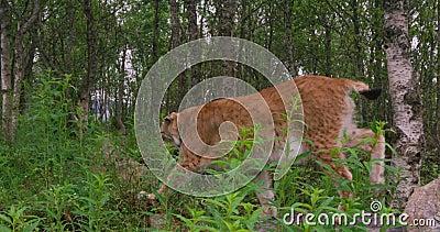 Κινηματογράφηση σε πρώτο πλάνο ενός ευρωπαϊκού λυγξ που περπατά στο δάσος στο καλοκαίρι φιλμ μικρού μήκους