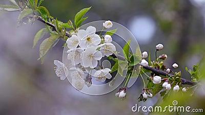 Κλαδί μηλιάς που ανθίζει φιλμ μικρού μήκους
