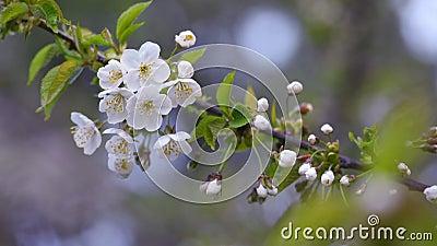 Κλαδί μηλιάς που ανθίζει απόθεμα βίντεο