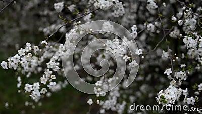 Κλαδιά ανθοφόρων δέντρων κυματίζουν στον άνεμο Ανοιξιάτικος κήπος σε ηλιόλουστη μέρα απόθεμα βίντεο