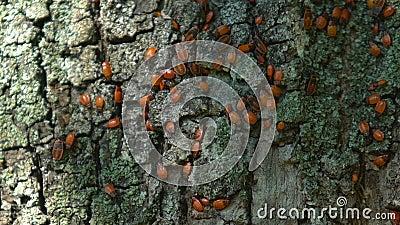Κοντινά κόκκινα έντομα που κινούνται σε φλοιό δέντρου στο δάσος, τη χλωρίδα και την πανίδα, άγρια φύση απόθεμα βίντεο