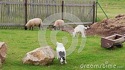 Κοπάδια και κοπάδια, άσπρο και πρόβατα που βόσκουν στο γαλακτοκομείο απόθεμα βίντεο