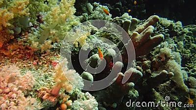 Κοραλλιοκέφαλη νεράιδα Pseudanthias squamipinnis και Coral grouper Cephalopholis miniata, τα ψάρια κολυμπάνε αργά πάνω από έναν κ απόθεμα βίντεο