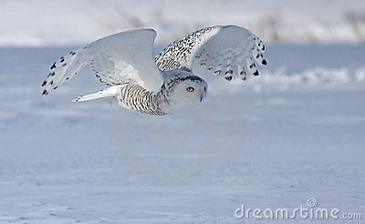 κυνηγώντας τη χιονόγλαυ&kapp