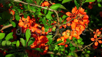 κυδώνι κόκκινο λουλουδιών 4K απόθεμα βίντεο