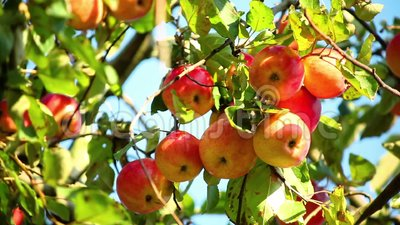 Κόκκινα ώριμα μήλα σε έναν κλάδο δέντρων μηλιάς μια ηλιόλουστη ημέρα απόθεμα βίντεο