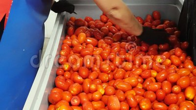 Κόκκινες ντομάτες στη γραμμή επεξεργασίας φιλμ μικρού μήκους